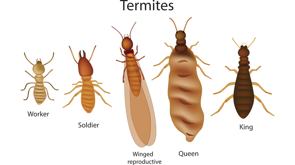 What Are Termites And How To Spot Them Big Tom S Pest Control