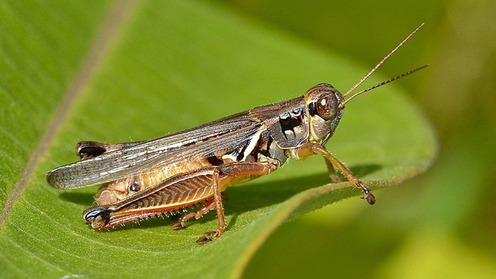 Tis the Season of the Grasshoppers in Utah!